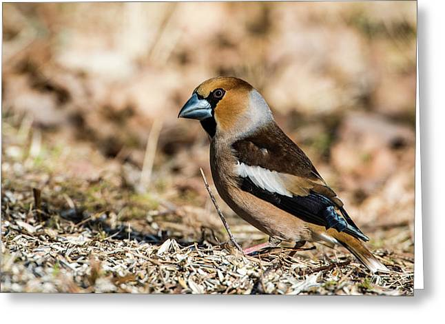 Greeting Card featuring the photograph Hawfinch's Gaze by Torbjorn Swenelius
