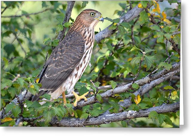 Greeting Card featuring the photograph Hawk  by AJ Schibig
