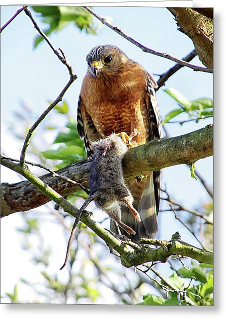 Hawk And Mouse Greeting Card by Diana Haronis