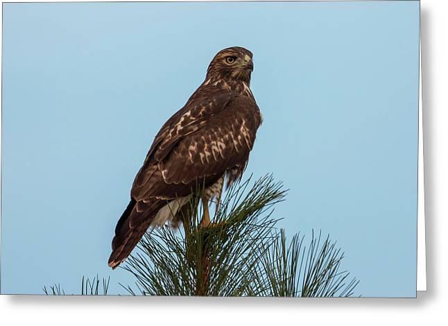 Hawk At Twilight Greeting Card