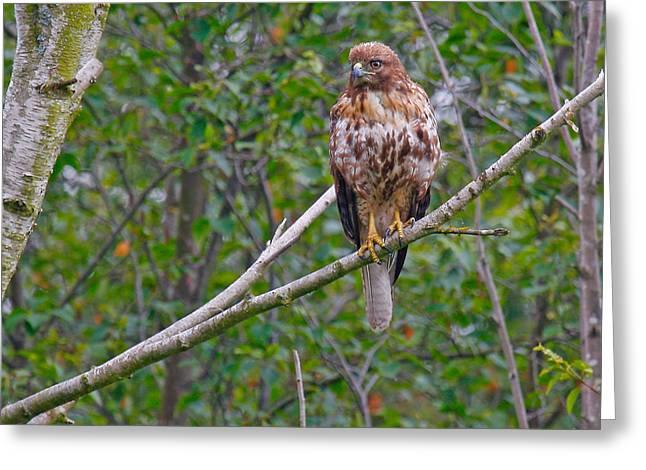 Hawk Greeting Card by Naman Imagery