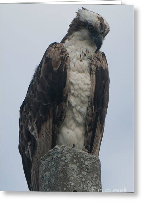 Hawk Facing Down Greeting Card