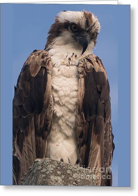 Hawk Glare Greeting Card