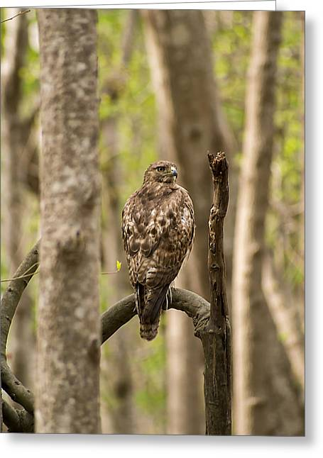 Hawk Hunting In The Woods Greeting Card