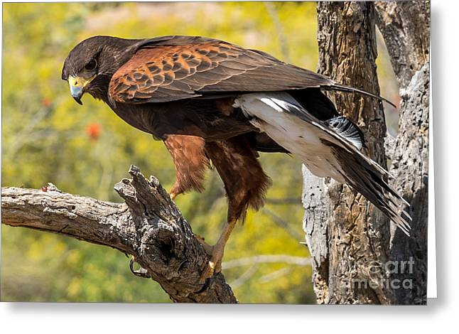 Hawk In A Tree Greeting Card by Leo Bounds