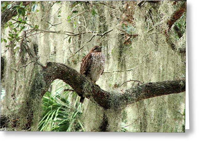 Hawk In Live Oak Hammock Greeting Card by Peg Urban