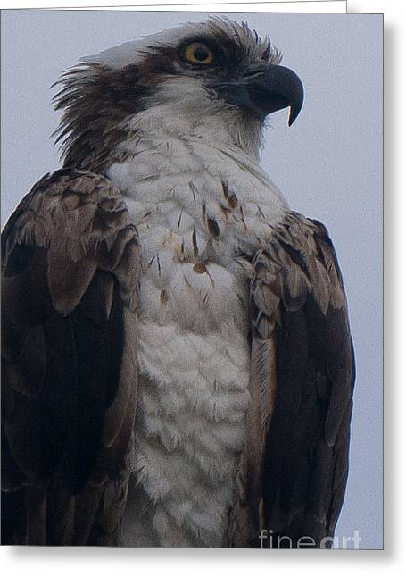 Hawk Looking Into The Distance Greeting Card