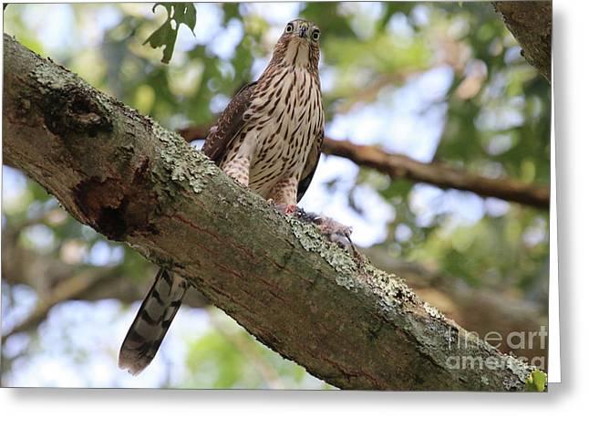 Hawk On A Branch Greeting Card