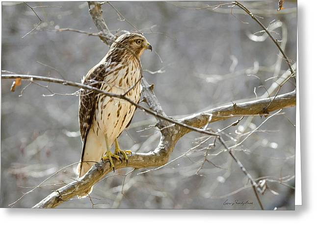 Hawk On Lookout Greeting Card by George Randy Bass