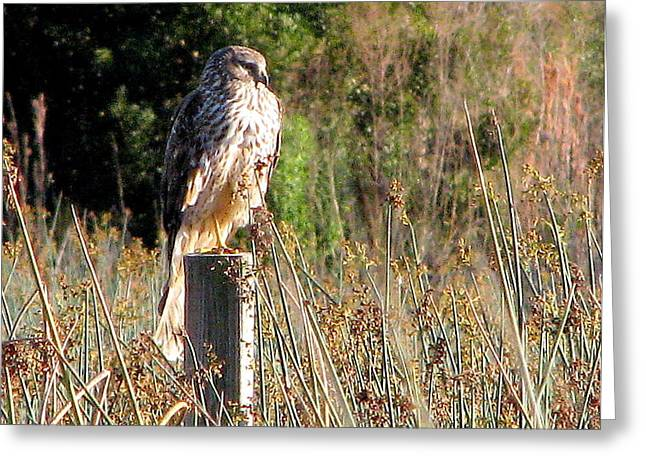 Hawk On Post Greeting Card