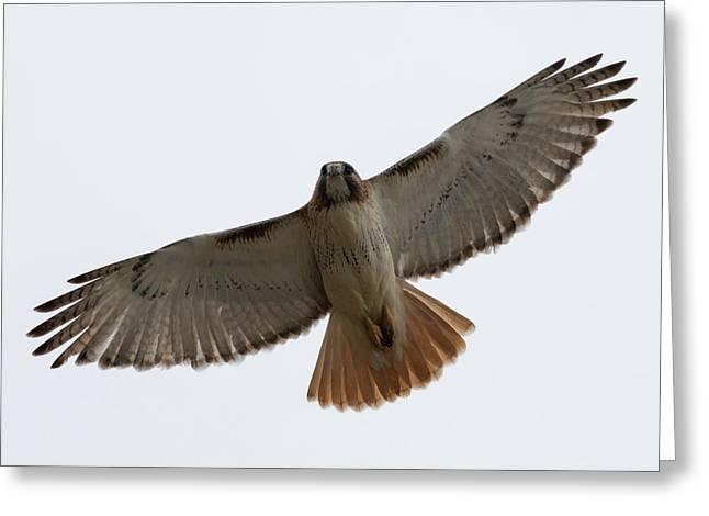 Hawk Overhead Greeting Card
