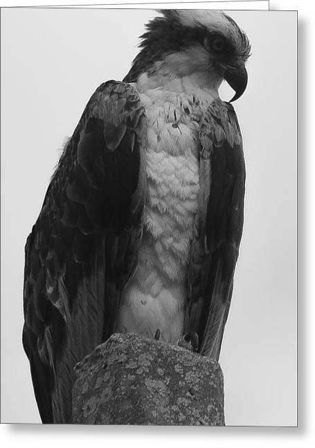Hawk Perched Greeting Card