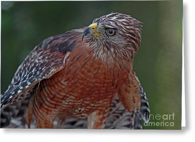 Hawk Portrait Greeting Card