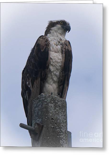 Hawk Pose Greeting Card