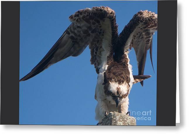 Hawk Prepares For Flight Greeting Card
