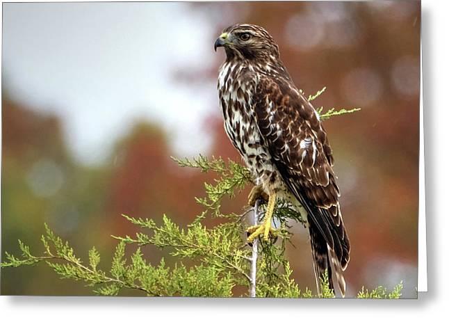 Red Shoulder Hawk Profile Greeting Card