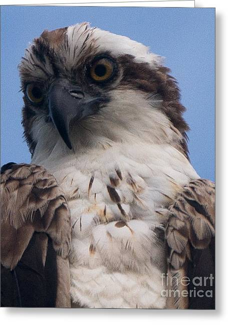 Hawk Profile Greeting Card