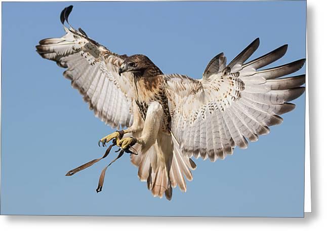 Hawk Showing Off Greeting Card