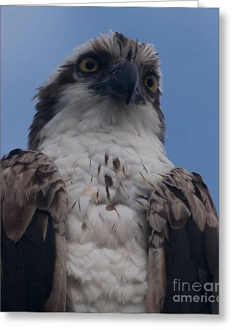 Hawk Stare Greeting Card
