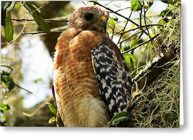 Hawk Taking A Rest On A Tree In Lakeland Florida Greeting Card