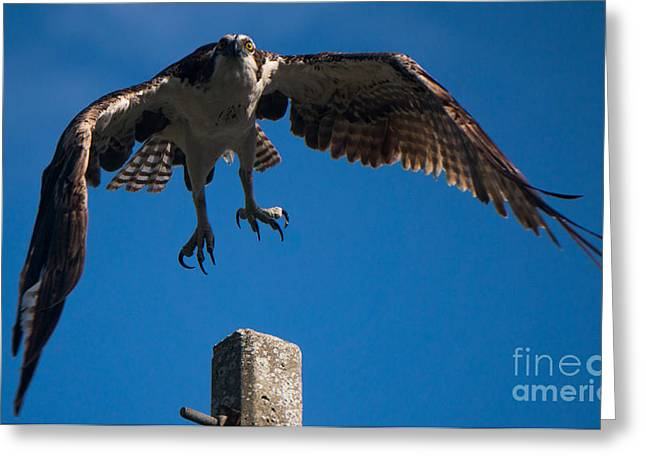Hawk Taking Off Greeting Card