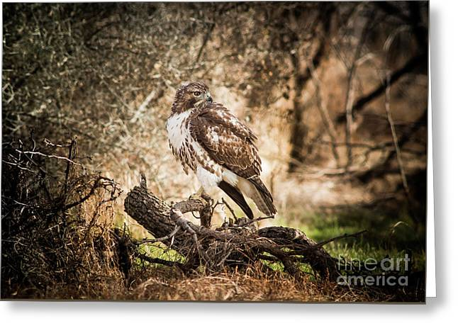 Hawk Through A Thicket Greeting Card by Robert Frederick