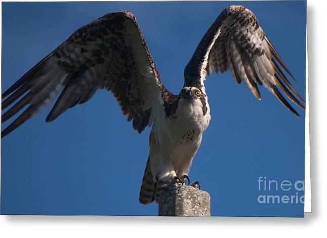 Hawk Wings Greeting Card