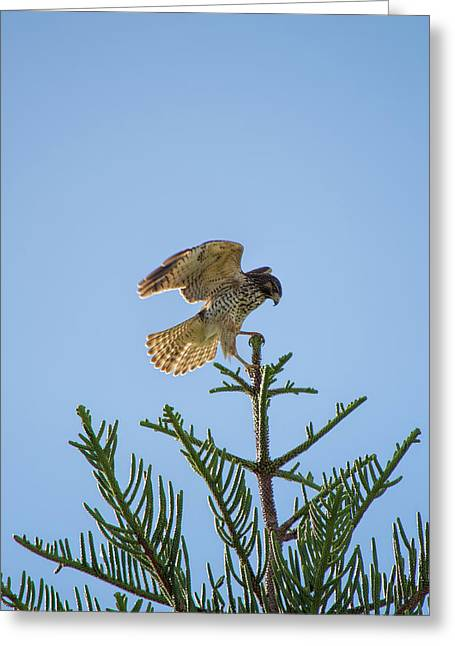 Hawk With Regal Landing Greeting Card