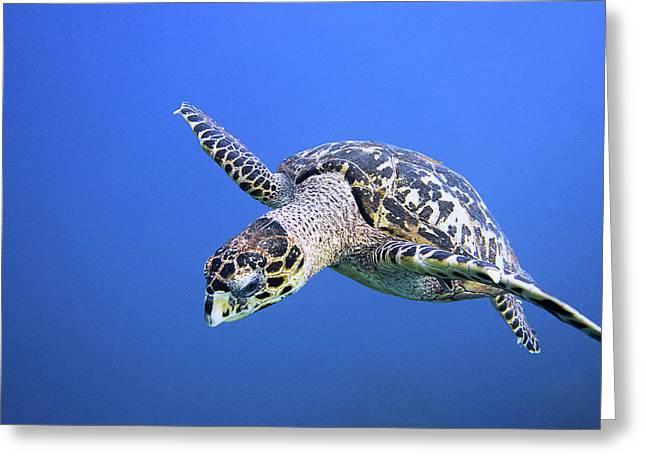Hawksbill Sea Turtle Greeting Card by Jim Murphy