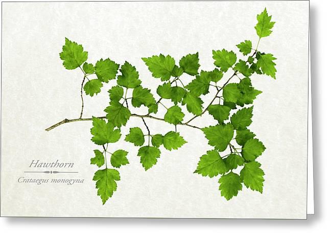 Hawthorn Greeting Card by Christina Rollo