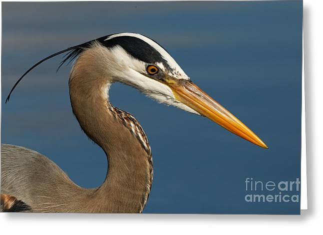 Head Of A Great Blue Heron Greeting Card