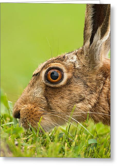 Head Of Hare Greeting Card