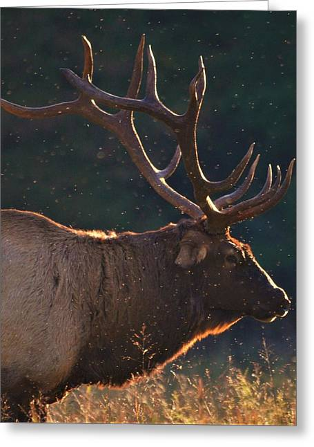 Head Of The Herd Greeting Card