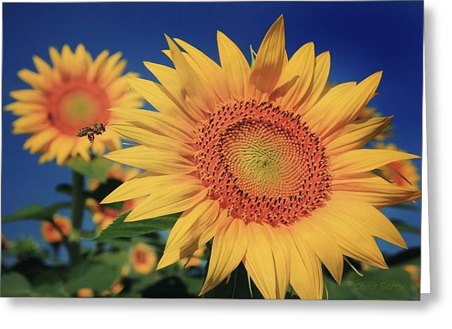 Greeting Card featuring the photograph Heading For Gold by Chris Berry