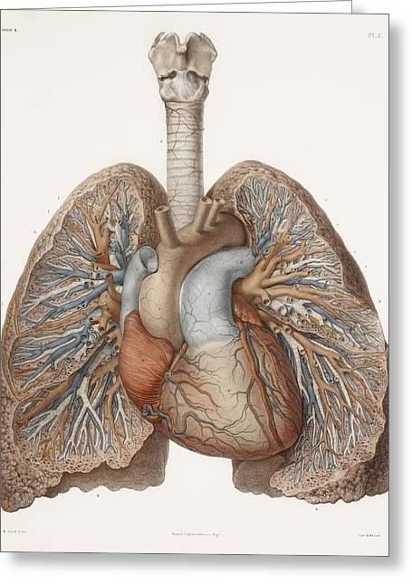 Heart And Lungs, Historical Illustration Greeting Card