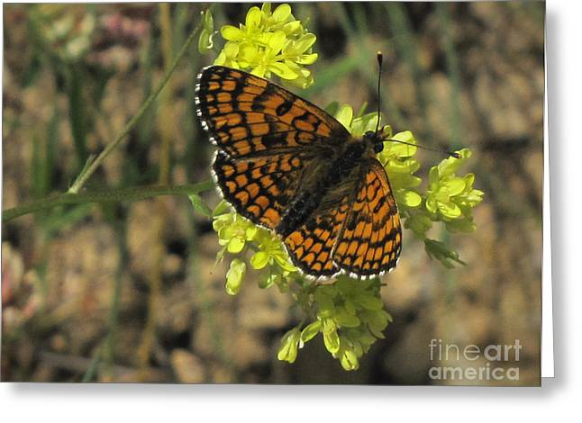 Greeting Card featuring the photograph Heath Fritillary Butterfly  by Jacqi Elmslie