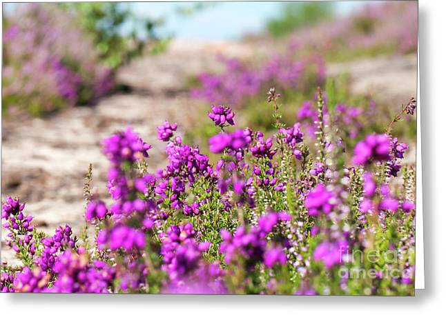 Heather - Calluna Vulgaris - In Flower In Summer Greeting Card