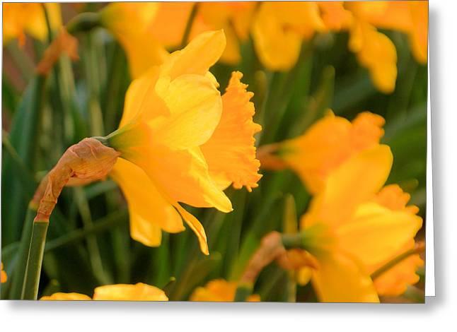Heavy Headed Daffodil Greeting Card