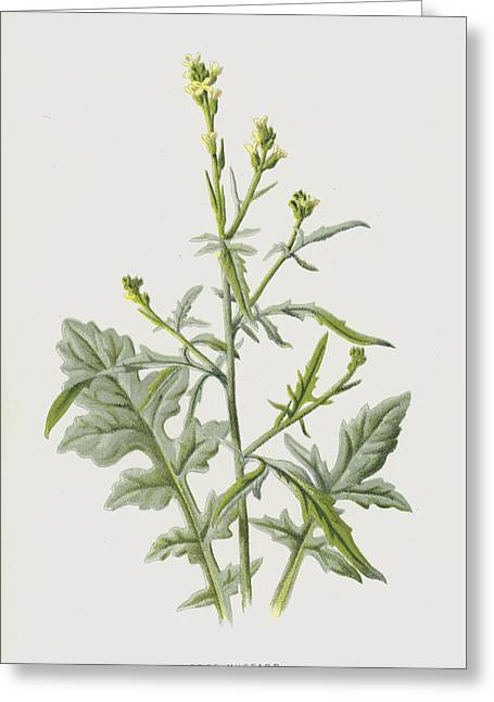 Hedge Mustard Greeting Card by Frederick Edward Hulme