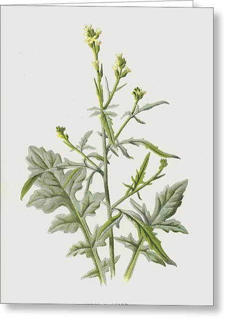 Hedge Mustard Greeting Card by Frederick Edward Hulme