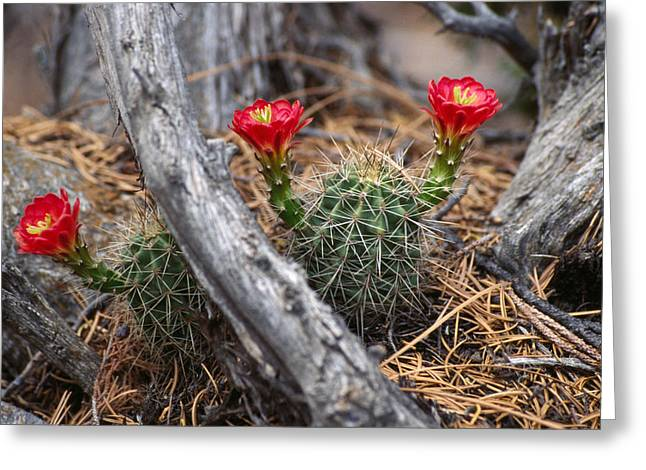Hedgehog Cactus In Bloom Greeting Card by Panoramic Images