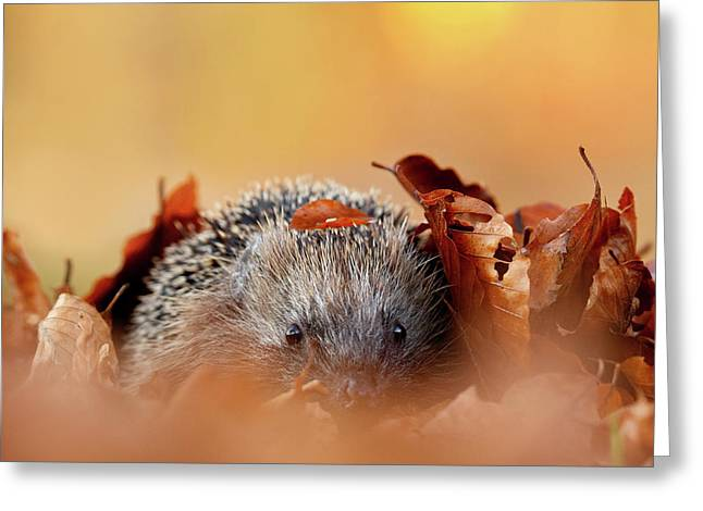 Hedgehog Hiding Greeting Card by Roeselien Raimond