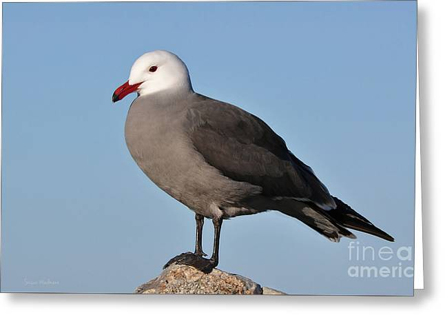 Heermann's Gull In Breeding Plumage Greeting Card