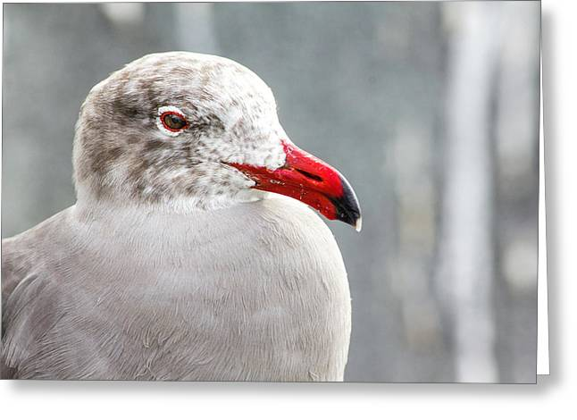 Heerman's Gull Greeting Card