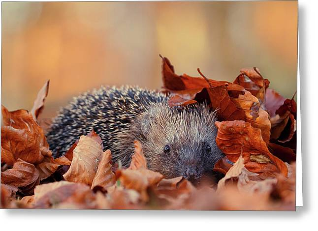 Hedgehog Hiding Greeting Card by Roeselien Raimond
