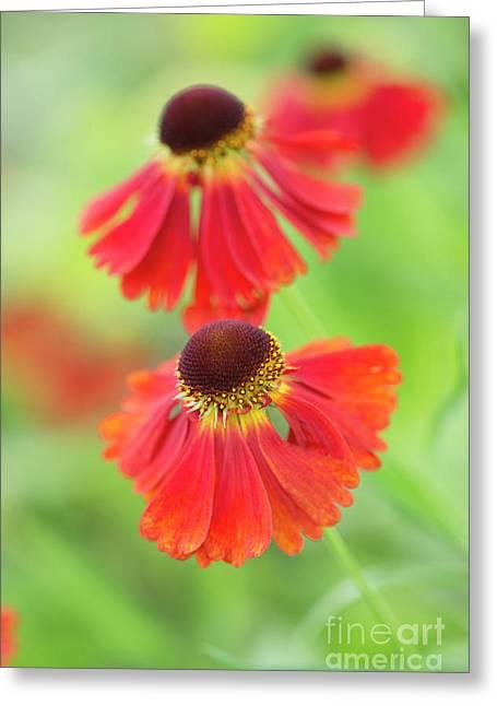 Helenium Moerheim Beauty Flowers Greeting Card by Tim Gainey