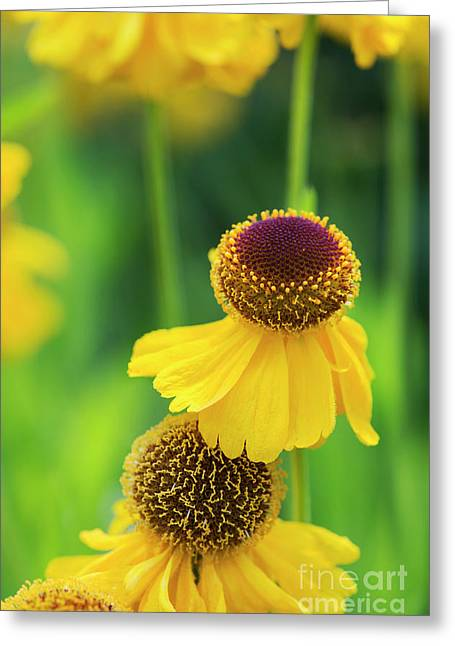 Helenium Riverton Beauty Flowers Greeting Card