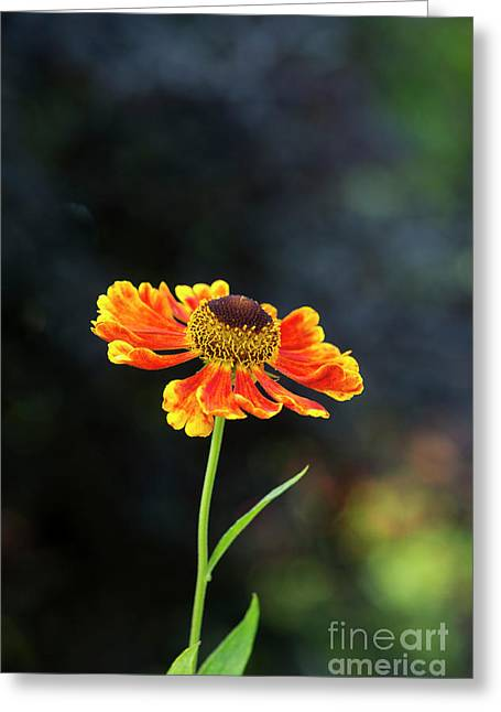 Helenium Waltraut Greeting Card by Tim Gainey