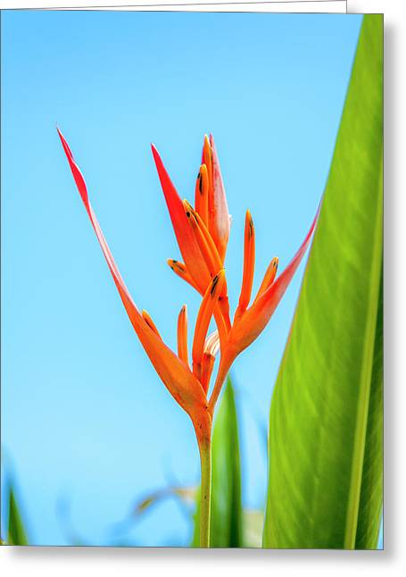 Heliconia Flower Greeting Card