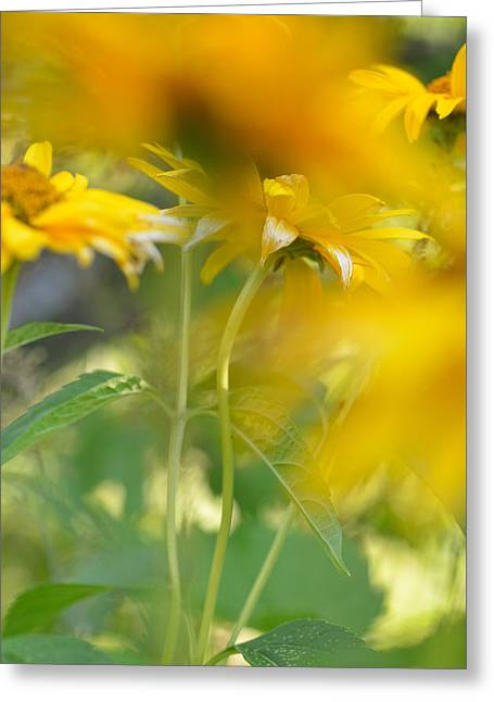 Heliopsis Blur Greeting Card